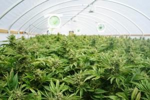 Canopy Stock