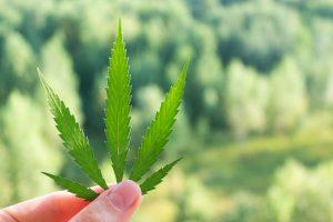 How Will Political Upheaval Affect the Marijuana Market?