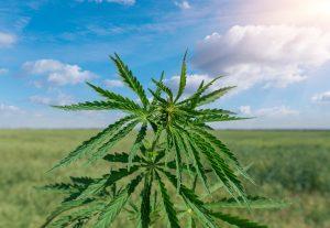Aurora Cannabis Stock Forecast