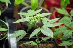 marijuana news today 30 july