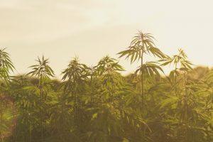 Aurora-Cannabis-ICC-labs-stock-forecast