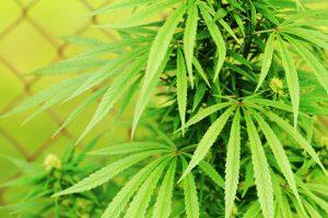 Aurora Cannabis quarterly report