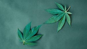 Harvest Health & Recreation: Cannabis Player