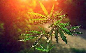 Marijuana Stocks Rebound
