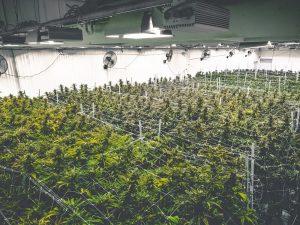 PharmaCielo Ltd Largest Producer of Cannabis Has 160% Upside